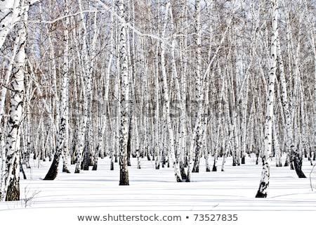 tops of bare birch trees Stock photo © Mikko