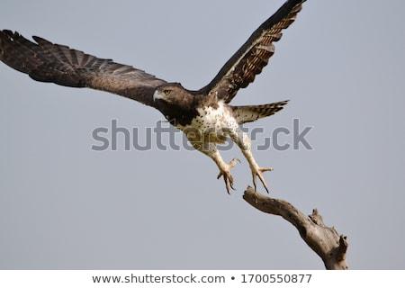イーグル · 未熟 · 支店 · 南アフリカ · 空 · 鳥 - ストックフォト © livingwild