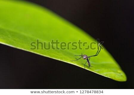 Male Mosquito Stock photo © smuay