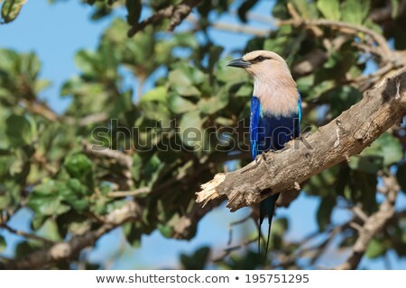 A Blue-Bellied Roller (Coracias cyanogaster) perched in a fig tr stock photo © davemontreuil