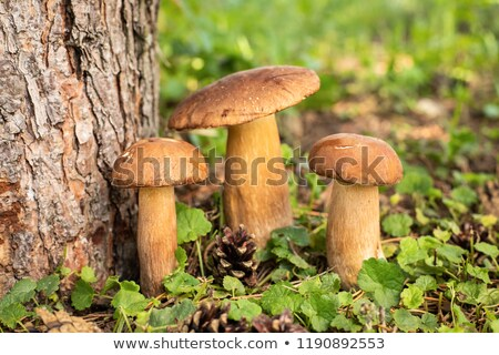 Boletus tre commestibile funghi alimentare erba Foto d'archivio © brebca