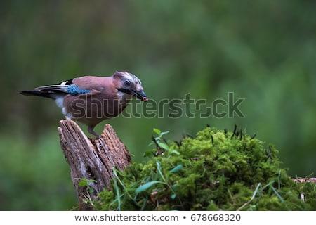 nedves · eső · madár · Európa · közelkép · barna - stock fotó © taviphoto