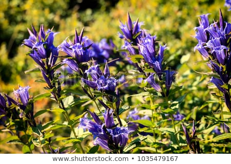 Gentian Herb Stock photo © marilyna