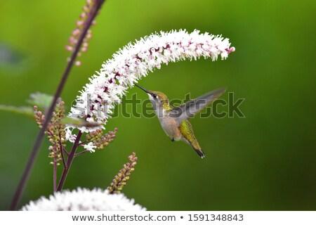 Pequeno beija-flor flores congelada ação flor Foto stock © xura