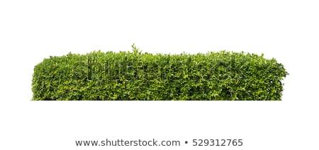Zöld bokor kerítés zöld fa természetes fa Stock fotó © scenery1