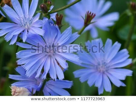 chicory flowers Stock photo © Mikko