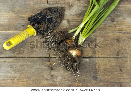Freshly picked spring onion on table Stock photo © stevanovicigor