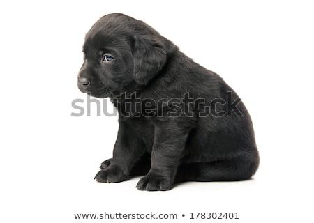 small black puppy stock photo © klinker