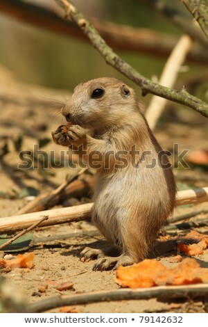 young prairie dog eating carrot Stock photo © compuinfoto