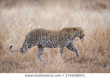 África leopardo adulto masculina caminando hierba Foto stock © lienkie