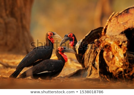 southern ground hornbill walking in the grass stock photo © simoneeman