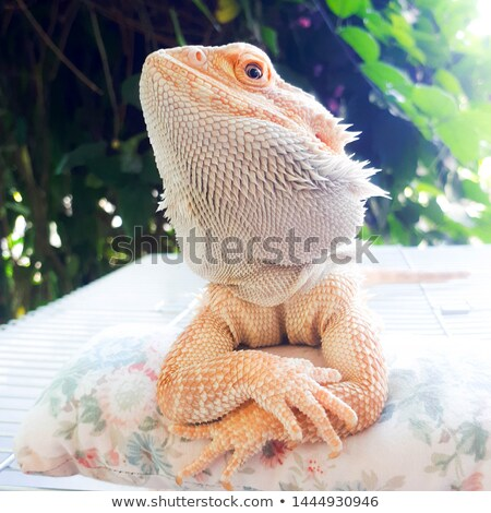 A reptile in the dessert Stock photo © bluering