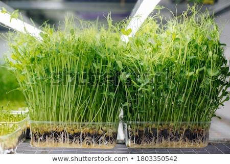 小さな · 成長 · エンドウ · セット · プラスチック · ポット - ストックフォト © digifoodstock