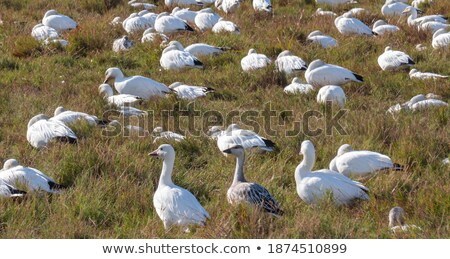 Snow and Canada geese during fall migration Stock photo © pictureguy