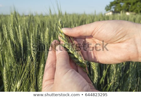 Concept of responsible farming, female farmer in cereal crops fi Stock photo © stevanovicigor