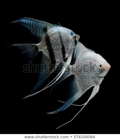 Isolated Freshwater angelfish aquarium fish Stock photo © studiostoks
