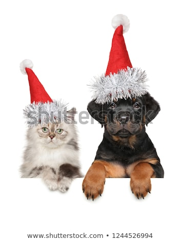 kitten and rottweiler Stock photo © cynoclub