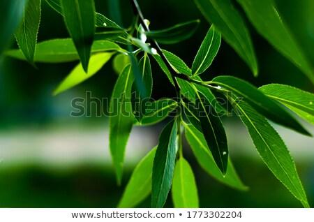 Eğreltiotu yeşil şube bitki siyah ışık Stok fotoğraf © artjazz