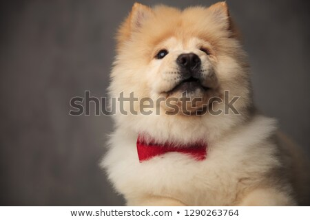close up of surprised chow chow wearing bowtie looking up Stock photo © feedough