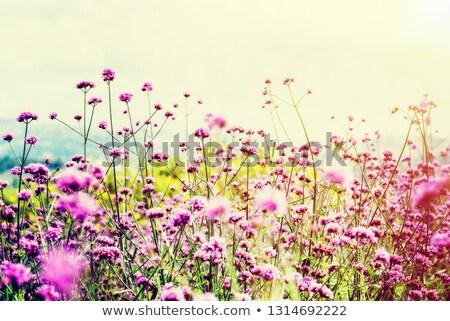 Vintage style Verbena Bonariensis flower field  Stock photo © Yongkiet
