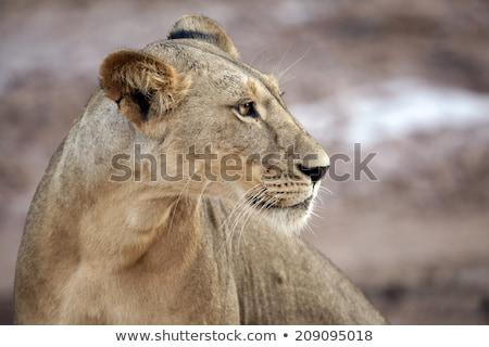 vadászat · közelkép · vad · oroszlán · állat · afrikai - stock fotó © emiddelkoop