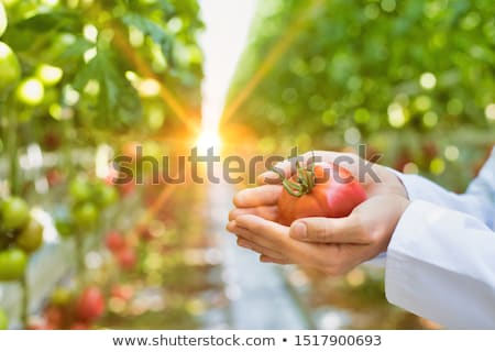 Agricultural worker in a greenhouse with tomato plant Stock photo © simazoran