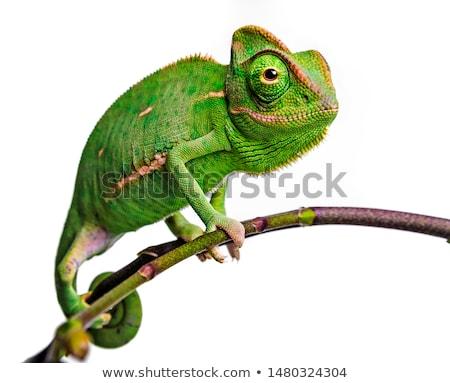 Cute verde camaleón blanco aislado diversión Foto stock © evgeny89