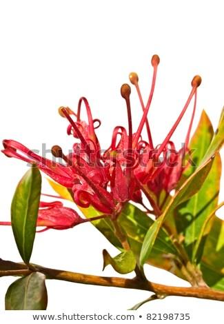 Grevillea Splendour Red Flower Of An Australian Native Plant Stok fotoğraf © Sherjaca
