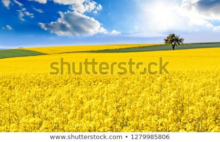 Amazing yellow field of rapeseeds and the blue sky with clouds. Stock photo © lypnyk2