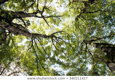 looking up in birch forest stock photo © mahout