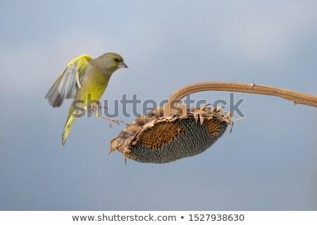 aterrissagem · gaivota · pássaro · areia · voar · animal - foto stock © rtimages