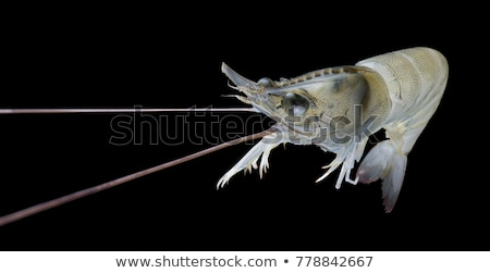Animado camarón frescos vivir sólido blanco Foto stock © tab62