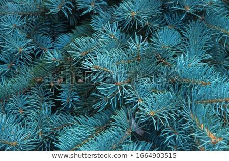 blu · abete · rosso · ramo · isolato · nero · primo · piano - foto d'archivio © prill