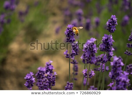 Stockfoto: Bee · lavendel · bush · etherisch · afbeelding · ondiep