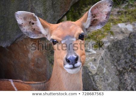 Nyala Antelope Grazing Stock photo © fouroaks