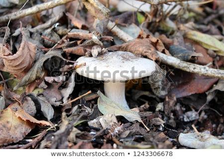 キノコ 死んだ 葉 成長 葉 ベッド ストックフォト © AlessandroZocc