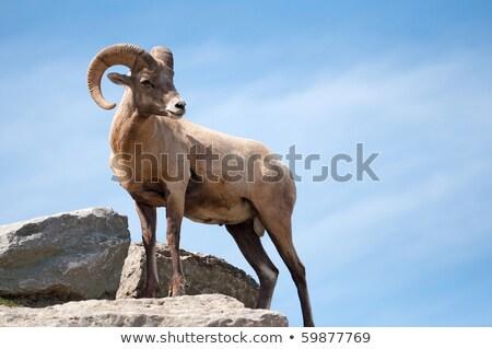 schapen · winter · digitale · dier · natuurlijke · horizontaal - stockfoto © emattil