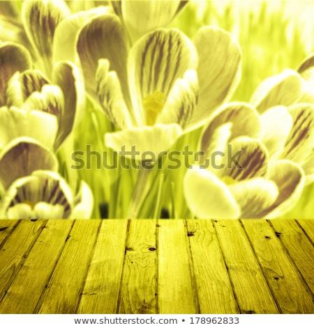 Spring background crocuses wooden parquet Stock photo © fotoaloja