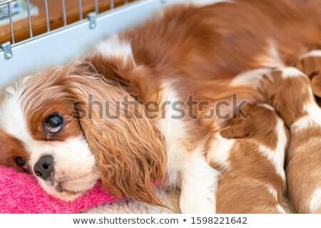 Szoptatás kutyakölyök angol bulldog szeretet háttér Stock fotó © willeecole
