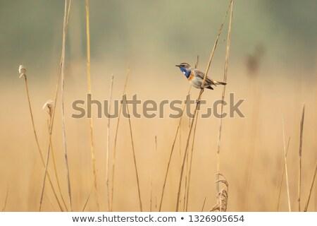 Female Bluethroat in reed Stock photo © ivonnewierink