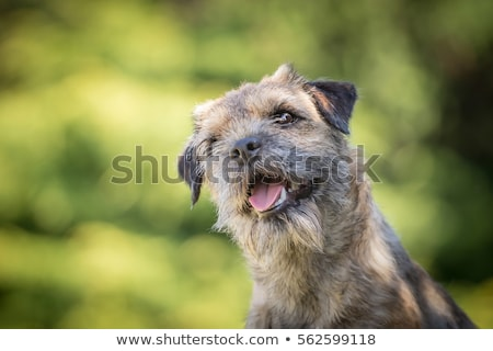 Portrait of Border terrier in the garden Stock photo © CaptureLight