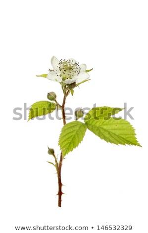 blackberry bush flowers rubus fruticosa buds and foliage stock photo © pixachi