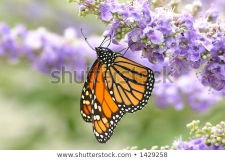 vlinder · bloem · tuin · zwarte · kleur · dier - stockfoto © jillyafah