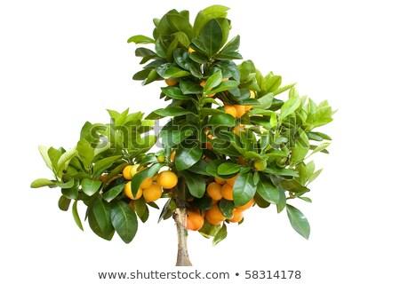 Narancsfa gyümölcs izolált fehér fa természet Stock fotó © rekemp