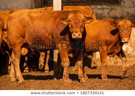 bulls on a farm stock photo © deyangeorgiev