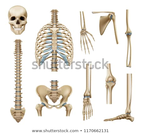 Human vertebral bones Stock photo © Tefi