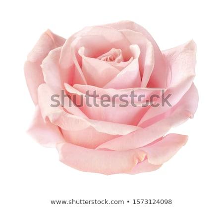 Fény rózsaszín rózsák fából készült felület virág Stock fotó © zven0