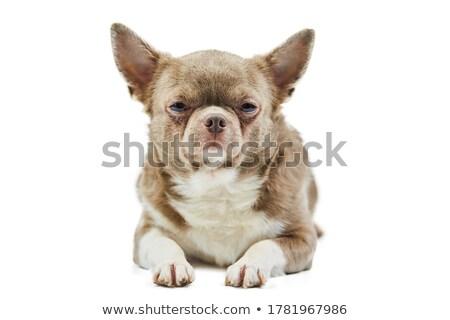 szczeniak · matka · jamnik · biały · psa · mleka - zdjęcia stock © cynoclub