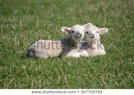 два · белый · овец · стилизованный · зеленый · луговой - Сток-фото © colematt