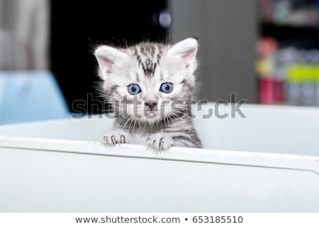 brown and black tabby american shorthair cat kitten isolated on white background stock photo © catchyimages